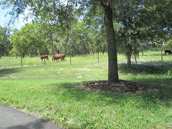 Trailside cows