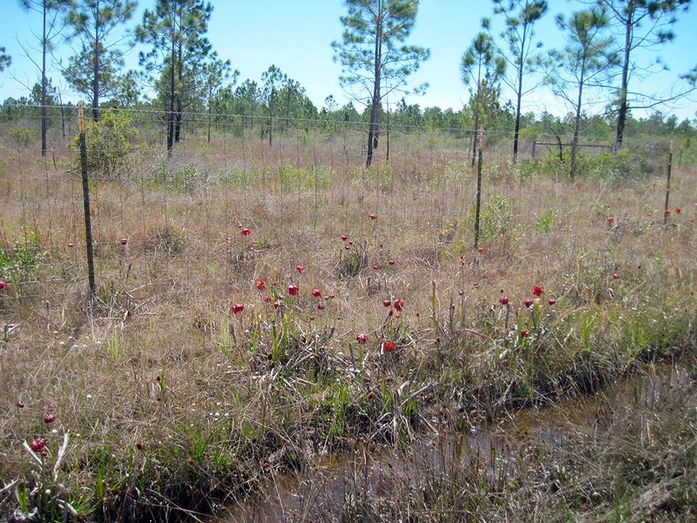 Pitcher plants in the ditch at Yellow River Marsh
