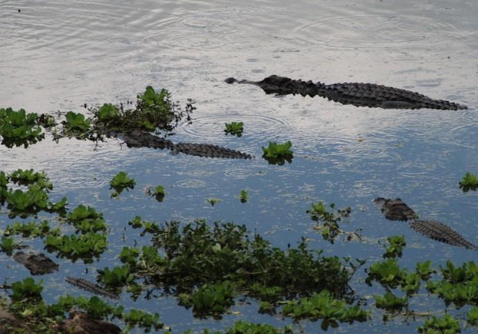 Alligators along the La Chua Trail