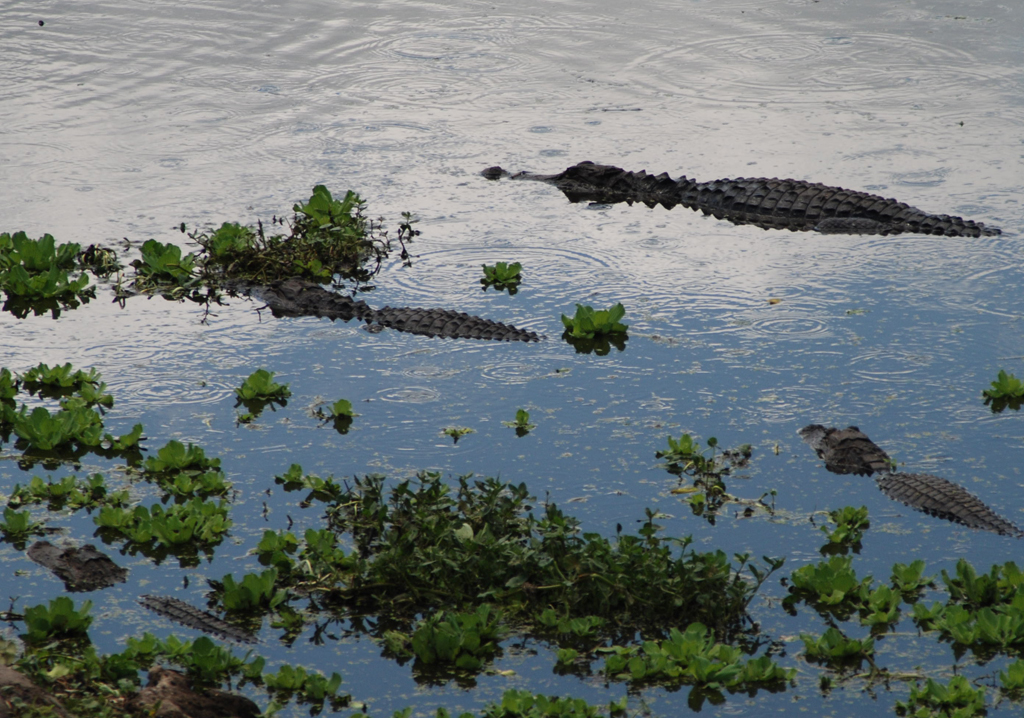 Alligators along the La Chua Trail