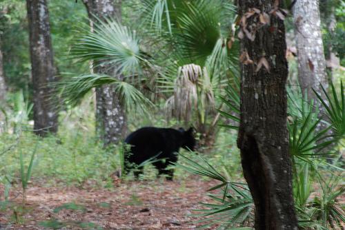 Bear at Kelly Park